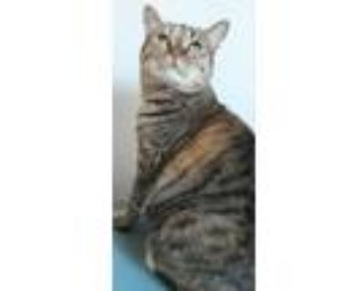 Adopt Poppy a Brown Tabby Maine Coon (short coat) cat in Palmdale, CA (26211063)