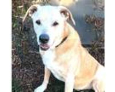 Adopt BUDDY a Tan/Yellow/Fawn - with White American Pit Bull Terrier / Mixed dog