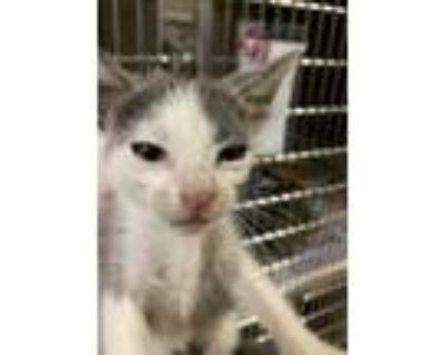 Adopt Bullet* a Gray or Blue Domestic Shorthair / Domestic Shorthair / Mixed cat