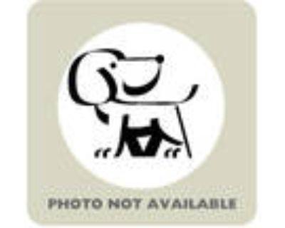 Adopt 48285812 a Retriever, Mixed Breed