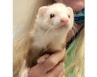 Adopt Puffle a Tan or Beige Ferret / Mixed small animal in Boulder