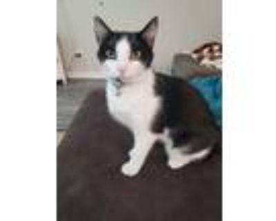 Adopt Catty Patty a Black & White or Tuxedo American Shorthair / Mixed (short
