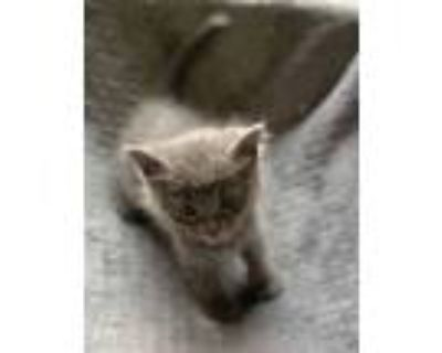 Adopt Hamm a Gray or Blue Domestic Shorthair / Domestic Shorthair / Mixed cat in