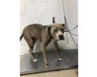 Adopt King Jones a Gray/Blue/Silver/Salt & Pepper American Pit Bull Terrier /