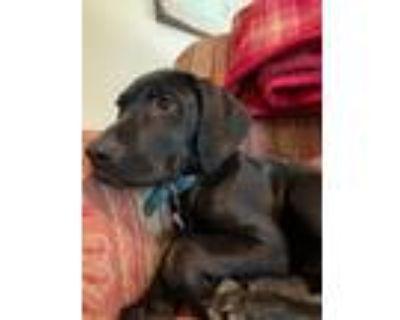 Adopt Kobe a Black Labrador Retriever, Hound
