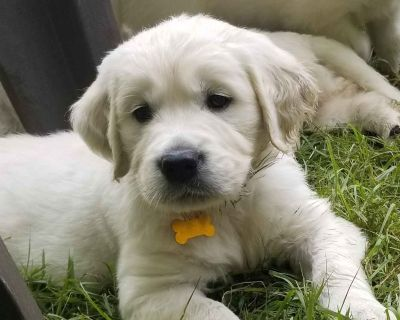 Golden Retriever Puppies-English Cream