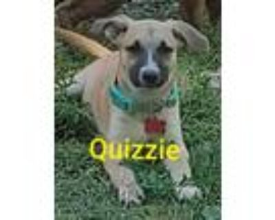Adopt Quizzie a Tricolor (Tan/Brown & Black & White) Shepherd (Unknown Type) /