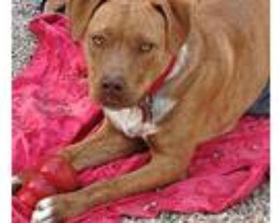 Adopt Handsome Jackson a Red/Golden/Orange/Chestnut - with White American
