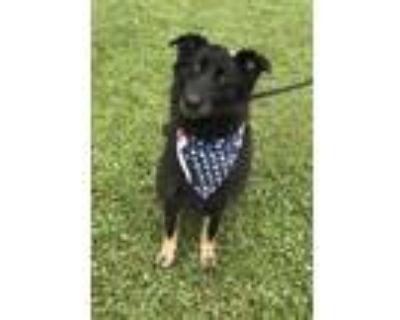 Adopt Nola a German Shepherd Dog, Labrador Retriever