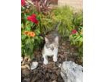 Adopt Julie a Calico or Dilute Calico Calico / Mixed (short coat) cat in