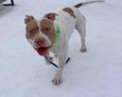 Adopt DUCATTI (DUKE) a Pit Bull Terrier