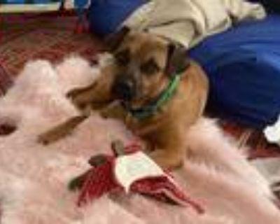 Adopt Reiki a Tan/Yellow/Fawn Terrier (Unknown Type, Medium) / Belgian Malinois
