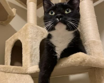 Sushi - Domestic Shorthair - Young Adult Female