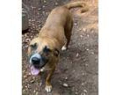 Adopt Sam a Brown/Chocolate Shepherd (Unknown Type) / Boxer / Mixed dog in