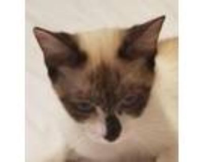 Adopt Butterfly a Snowshoe, Siamese