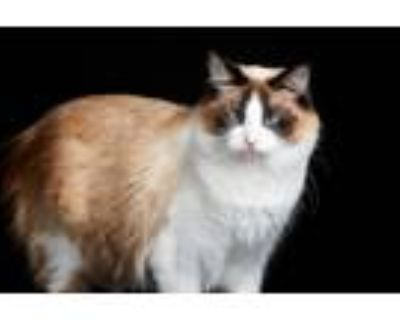 Adopt Yoshimi a Cream or Ivory (Mostly) Siamese (long coat) cat in Los Angeles