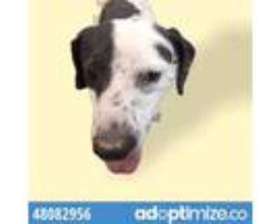 Adopt 48082956 a Beagle, Mixed Breed