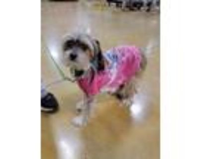 Adopt Flare a Chinese Crested Dog