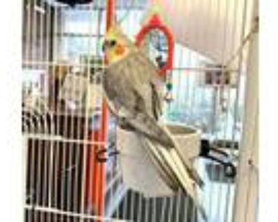 Adopt BOY GEORGE a Gray Cockatiel / Mixed bird in Boston, MA (30617511)