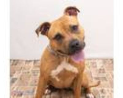 Adopt Nellie 48128479 a Pit Bull Terrier