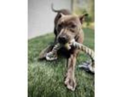 Adopt Julia a Mixed Breed (Medium) / Pit Bull Terrier / Mixed dog in Portsmouth