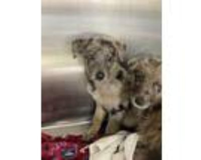 Adopt 47940308 a Gray/Blue/Silver/Salt & Pepper Catahoula Leopard Dog / Mixed