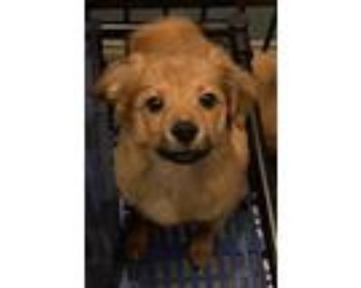 Adopt Joey a Brown/Chocolate - with Black Spaniel (Unknown Type) / Poodle