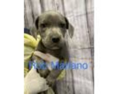 Adopt Rob Mariano a Gray/Blue/Silver/Salt & Pepper Pit Bull Terrier dog in