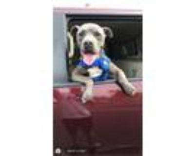 Adopt Bruce a Terrier, Staffordshire Bull Terrier