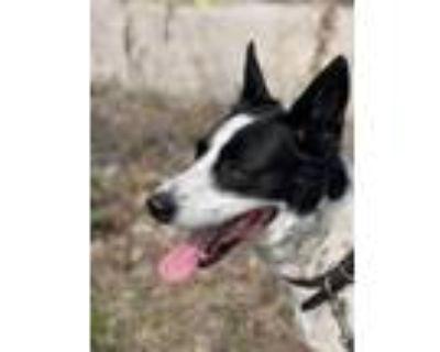 Adopt Addi $350 a Border Collie / Mixed dog in Milwaukee, WI (32440432)