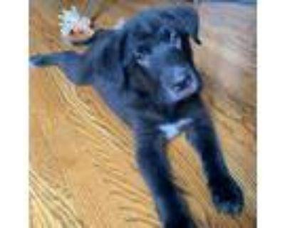Adopt Black Coffee a Labrador Retriever, Shar-Pei