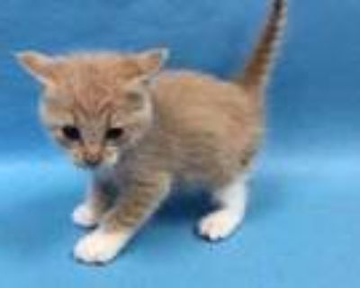 Adopt Blaire a Tan or Fawn Domestic Shorthair / Mixed (short coat) cat in Coon