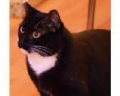 Adopt Boots *FOSTER NEEDED* a Domestic Short Hair
