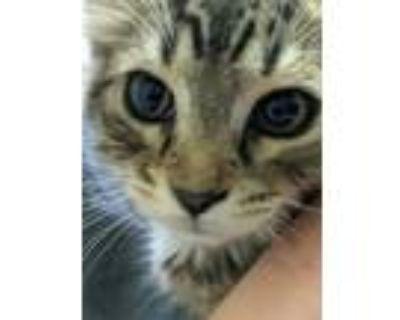 Adopt Harper a Brown Tabby Domestic Shorthair (short coat) cat in Duluth
