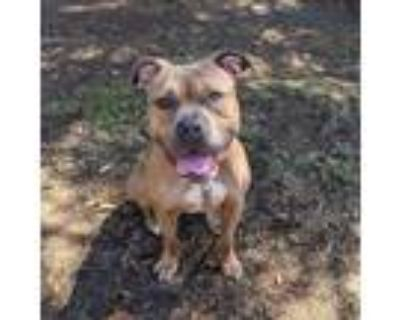Adopt Leroy a Pit Bull Terrier
