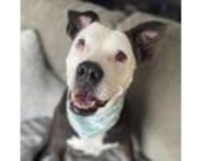 Moon Pie, American Staffordshire Terrier For Adoption In Itasca, Illinois