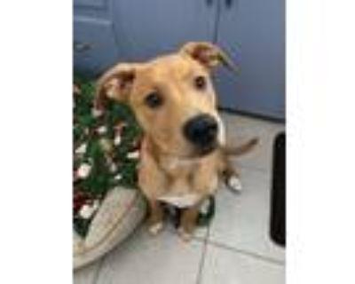 Adopt Sheldon a Labrador Retriever