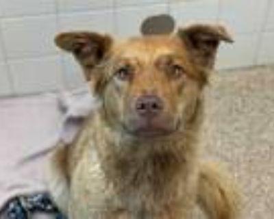 Adopt BOOP a Red/Golden/Orange/Chestnut Golden Retriever / Mixed dog in