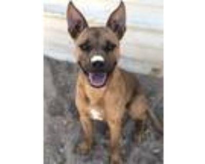 Adopt P JAY a Australian Cattle Dog / Blue Heeler, Mixed Breed