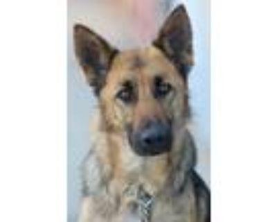 Adopt Jolie von Jestetten a Black - with Tan, Yellow or Fawn German Shepherd Dog