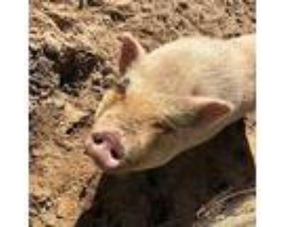 Adeline (pig), Pig (potbellied) For Adoption In Freeport, Florida