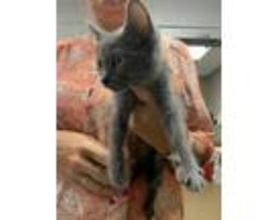 Adopt Judge* a Gray or Blue Domestic Shorthair / Domestic Shorthair / Mixed cat