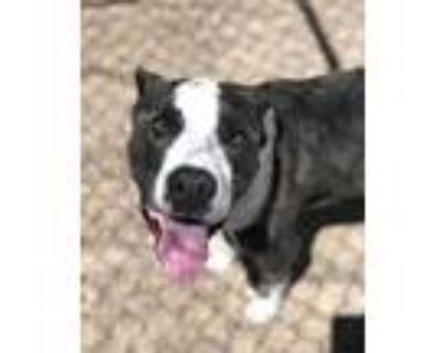 Adopt MARCO a Black - with White American Pit Bull Terrier / Mixed dog in