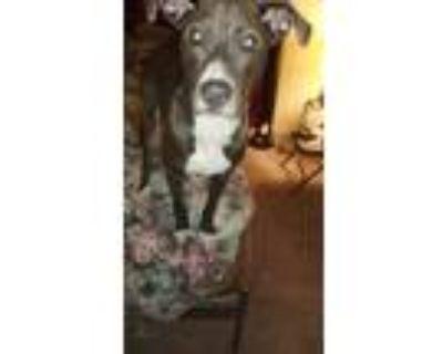 Adopt Double D a Gray/Blue/Silver/Salt & Pepper Labrador Retriever / Jack