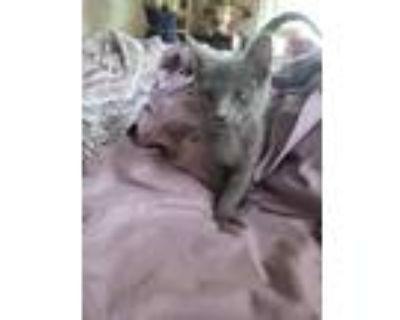 Adopt Aphrodite a Russian Blue / Mixed cat in Calimesa, CA (31967618)