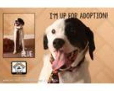 Adopt Blue a Rottweiler, Australian Cattle Dog / Blue Heeler