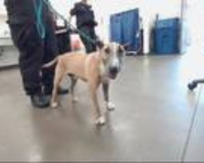 Adopt FUNNY FACE a Bull Terrier