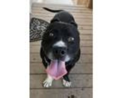 Adopt Shorty a American Staffordshire Terrier