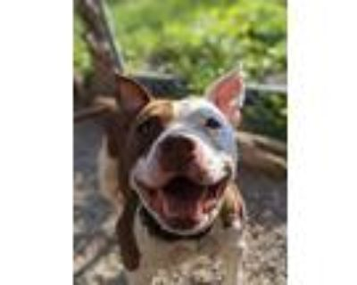 Adopt Teague a Pit Bull Terrier, Mixed Breed