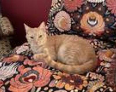 Adopt Purrla a Domestic Shorthair / Mixed (short coat) cat in Park City